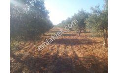 Liderden Bozdoğan Yeşil Yenicede 5872 m2 Düz Arazi Zeytinlik