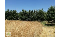 Antalya  Serik  Kozağacında  9  dönüm satılık   nar bahçesi