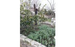 izmir bergama bağlarda satılık içinde evi olan bağ ve zeytinlik