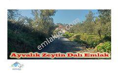 Gömeç Keremköyde Köyün Dibinde 1 660 m2 Zeytinlik    Kelepir