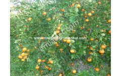 tarsus özbek köyünde satılık mandalina bahçesi