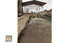 1000 m2 kapalı alanlı hazır büyükbaş çiftliği