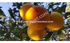 tarsus günyurdunda satılık portakal bahçesi