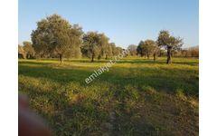 Sok Fiyat Zeytin incir Bahçesi 7.208