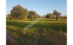 ERKOÇ emlaktan satılık zeytin arazisi