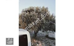 musahoca köyünde asfalt kenarı zeytinlik