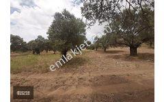 Reşadiye de icinde zeytin ağaçları bulunan tarla