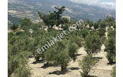 Turfanda mahallesinde SATLIK 500 ZEYTİN ağaçlı TARLA