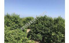 Mersin Erdemli çevre yoluna 1 km 800m2 limon bahçesi hisseli