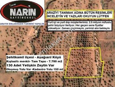 Şehitkamil AŞAĞIARIL köyünde 130 Adet Zeytin Ağacı Var Yüksekte