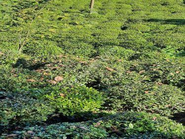 Rize derepazari burucek köyü satılık arazi
