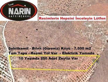 Şehitkamil BİLEK (Güreniz) Köyünde 250 Adet Zeytin Resmi Yolu Va