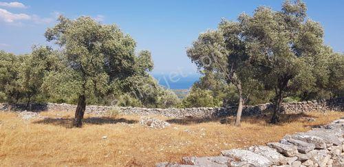 Milas Gökbel Köyü Mevki'in De 2028 M2 Satılık Zeytinlik