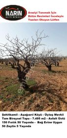 Şehitkamil AŞAĞIARIL Köyünde 50 Yaşında Fıstık 5 Yaşında Zeytin