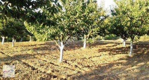 Bilecik Yenipazar Esenköy de Meyve Bahcemiz Satılıktır