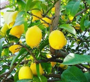 ERDEMLİ-İleminde 3300m2 yetişmiş limon bahçesi