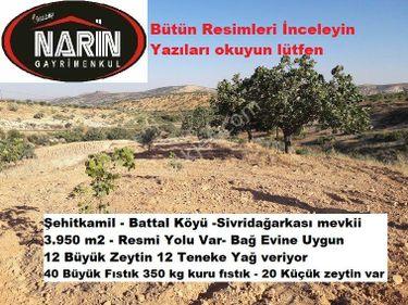 Şehitkamil BATTAL Köyünde Resmi Yollu Zeytin Fıstık Bakımlı