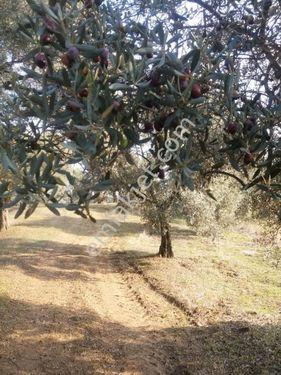 germencik hıdırbeyli mah de Satılık Zeytin bahçesi