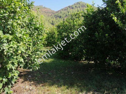 Ortaca Çaylı da satılık bakımlı limon bahçesi