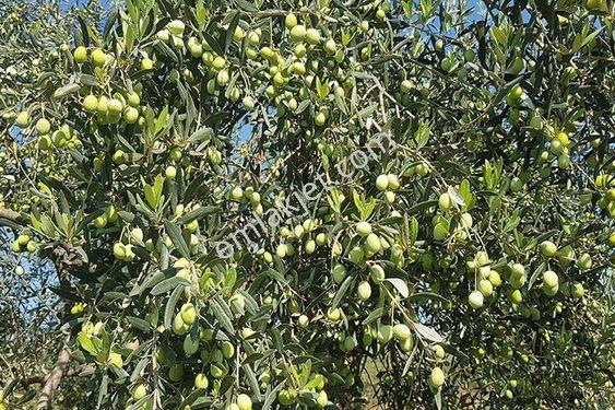 aydın germencik moralı köyünde satılık zeytin bahçesi