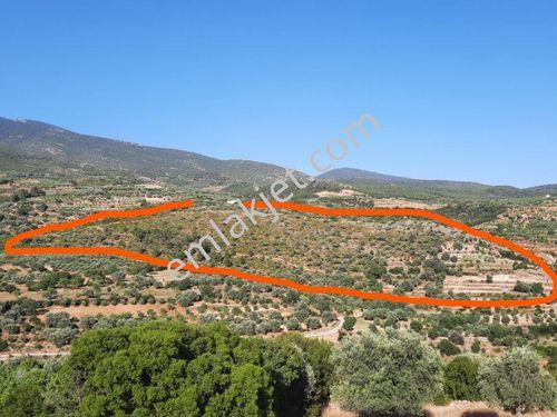 Bozdoğan Olukbaşı köyünde 110 dekar arazi  , zeytinlik..