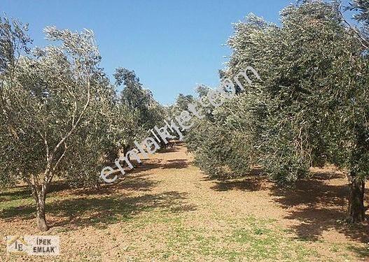 Bayramiç Palamutoba köyünde 5 800m2 satılık zeytinlik