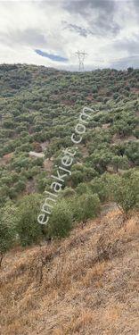 İzmir-Selçuk-Zafer Mahallesinde 12 dönüm bakımlı zeytinlik.