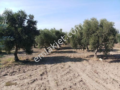manisa akhisar da 15.dönüm 150.ağaç zeytinli tarla 340.000 tl