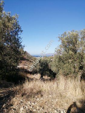 Dikili Bademlide Köyiçi Zeytinlik