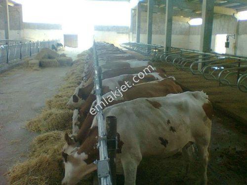 Yeşilyurt Kırkpınar köyünde çitlık son sistem 120 başlık besi