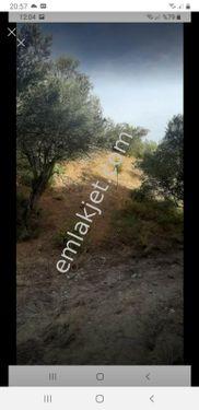Manisa Saruhanlı Byükbelen Mah Satılık 3200 m2 Zeytinlik