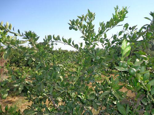 seferihisar turgut satılık mandalin bahçesi.