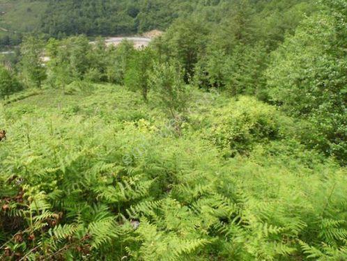 Artvin Hopada 6925 m2 Çay Bahçesi