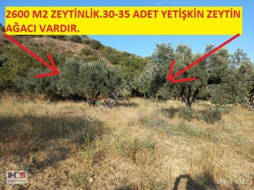 HAYDAR EMLAKTAN MÜREFTEDE 2600 M2 ZEYTİN GELİRLİ TARLA