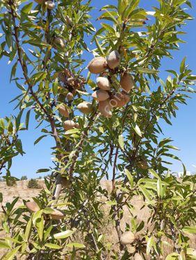 Satılık Badem bahçesi Burdur Altınyayla Dirmil bölgesinde