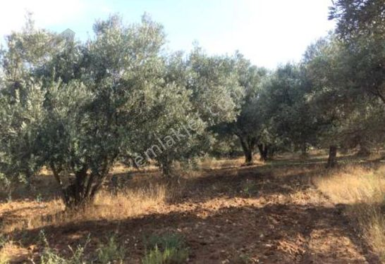 Muğla milasta satılık zeytinlik arsa