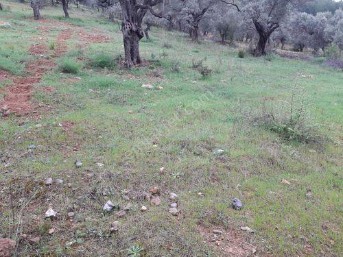 Sahibinden  4350 m2 zeytinlik Çakırbeyli köyü torbalı