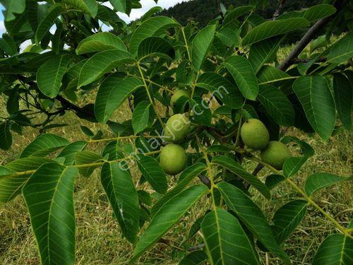 Çanakkale Biga da satılık ceviz bahçesi