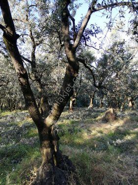 Bursa Orhangazi de Satılık Zeytin Ağaçlı Zeytinlik Tarla