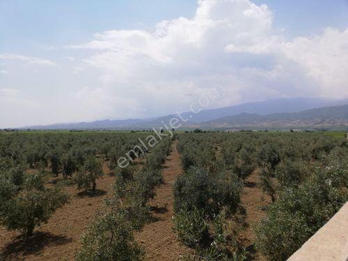 Manisa Salihli'de AntalyaDenizli yolu üzerinde Satılık Zeytinlik