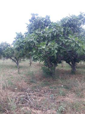 Torbalı Karakuyu da incir ve zeytin bahçesi.