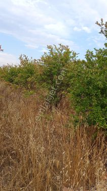 kızıllıda satılık nar bahcesi ve zeytın agacları