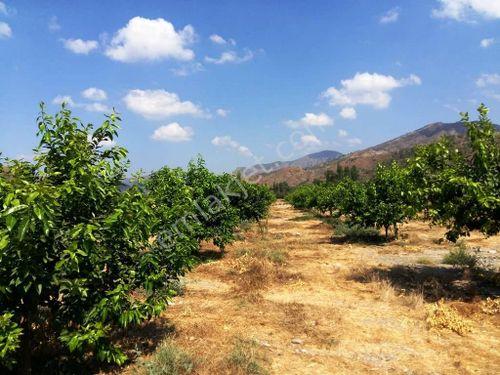 Muğla Dalaman Taşlıburun da 3200 m2 yerli limon bahçesi satılık