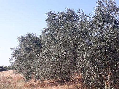Lapseki Gökköy de 5500m2 satılık ceviz zeytin bahçesi